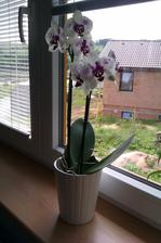 moje orchideje...jedne za syna...