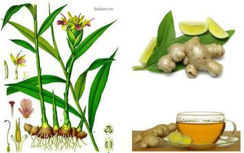 ZÁZVOR (ďumbier)- medzi najvýznamnejšie účinky patrí:podpora trávenia, prevencia proti chrípke, rakovine. Je to afrodiziakum :)
