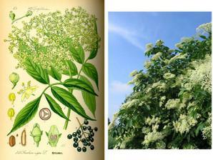 BAZA ČIERNA - pri prechladnutí ( zvyšuje potenie a znižuje horúčku ), mladé listy osožia pri jarných kúrach napomáhajúcich látkovú premenu. V homeopatii proti nočnému poteniu. upozornenie:rastlina je vo väčších dávkach JEDOVATÁ