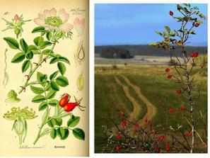 ŠÍPKY (ruža šípová) Úžitok : Zdroj mnohých vitamínov. Osoží pri chorobách močových orgánov, pri močových a obličkových kameňoch. Pôsobí prečisťujúco a protizápalovo.