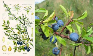 TRNKA obyčajná :Odvar z kvetu osoží pri zápche a tvrdej stolici. Plody sú sťahujúcim prostriedkom proti hnačke a zvonka ako kloktadlo. Surové sa spracuvávajú na ovocné vína, extrakty a lekváre. Kvet, listy a aj plody pôsobia pri horobách moč.orgánov