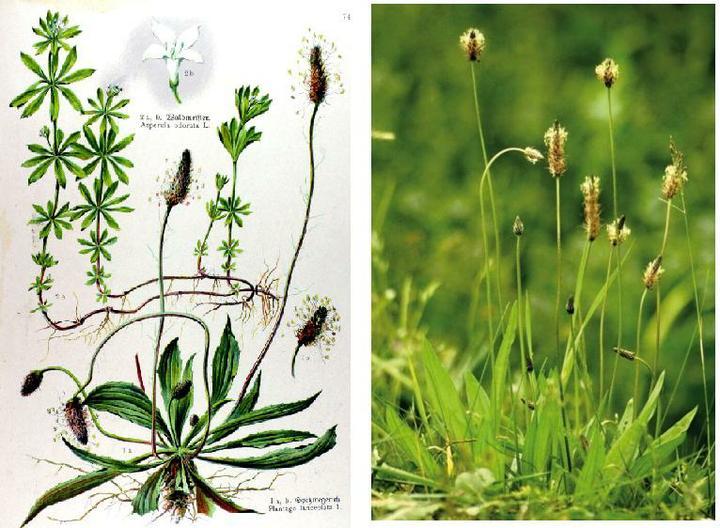 Prírodná domáca medicína ☂ - SKOROCEL kopijovity - na hojenie rán, ochorenie dýchacích ústrojov, pri katare žalúdka a čriev, bodnutí hmyzu.