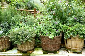 Ako pestovať bylinky v kvetináči a prečo tie zo sumerkatu rýchlo umierajú??