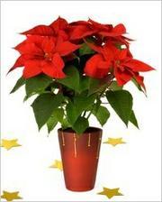 po vianociach nevyhadzovať : http://urobsisam.topky.sk/zahrada/rastliny-v-interieri/vianocna-hviezda-355.html