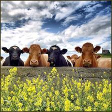 zopár kravičiek od susedov tiež bolo pozdraviť (u nás boli len štyri)