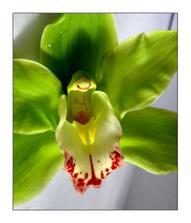 zelené orchidee