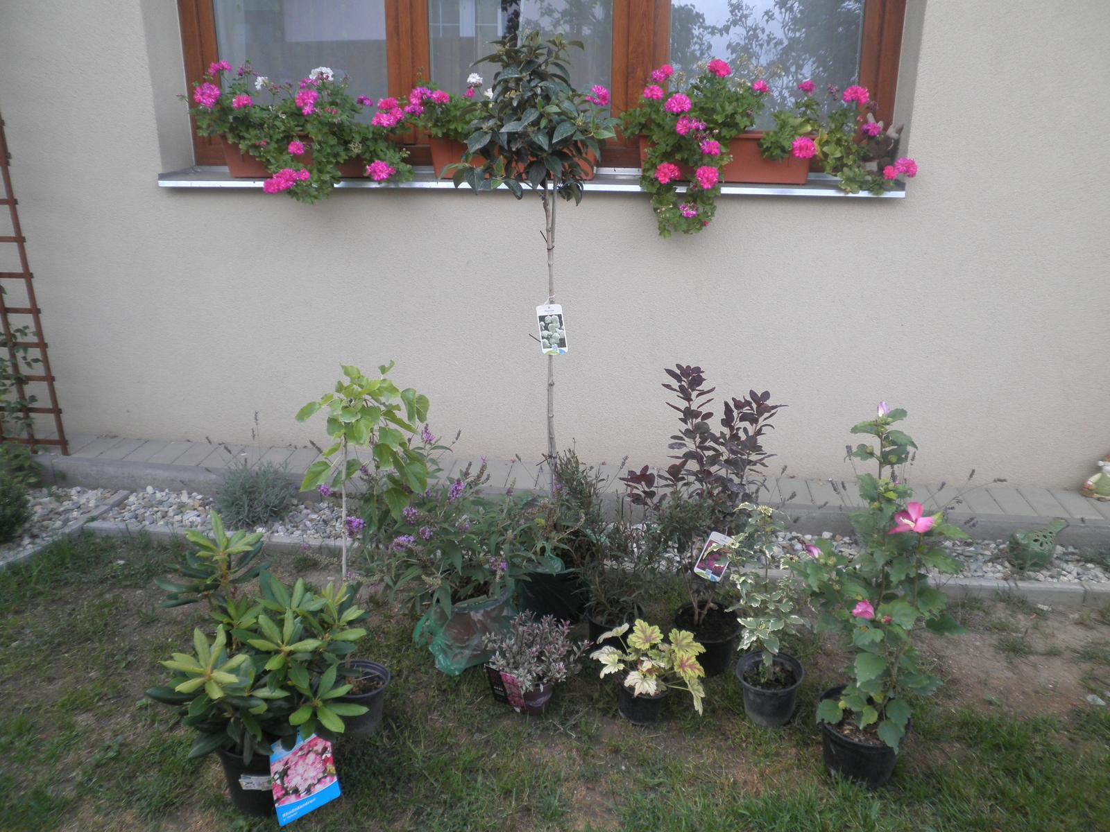Včerejší a dnešní nákup - rododendron, moruše na kmínku, motýlí keř, hebe, dlužicha, kalina na kmínku, červená růj vousatá a ibišky