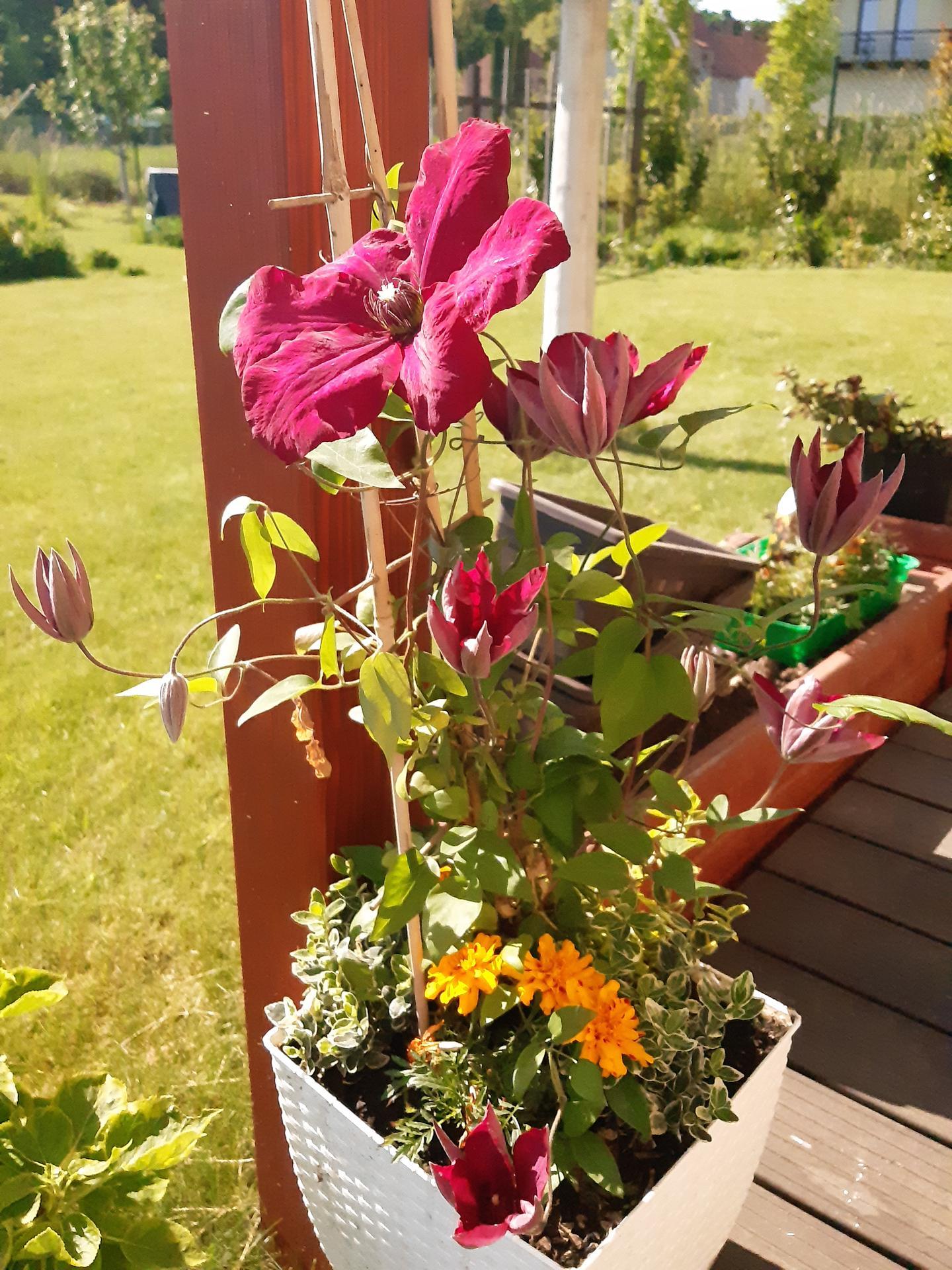 Zahrada 2021 - první clematis, který vypadá, že nechcípá pod mojí péčí =-)