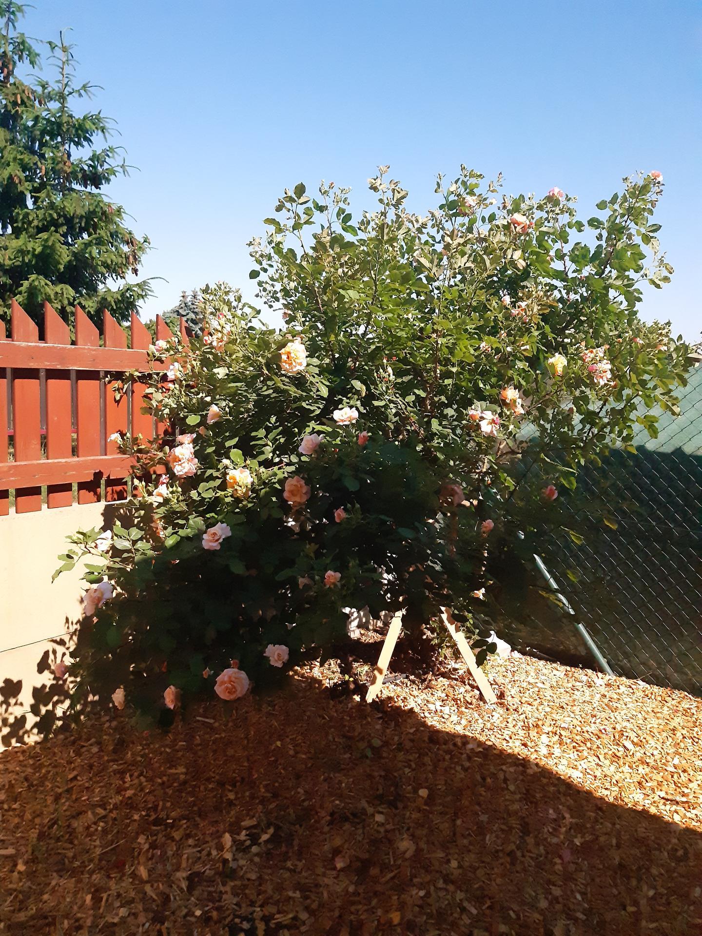 Zahrada 2021 - na jaře jsem jí radikálně stříhla téměř u země, protože nám bourala plot. A co udělá? O dva měsíce později ho začne bourat znova. Takhle růže je u nás jednoznačně nejdivočejší, neudolá jí nic ;-)
