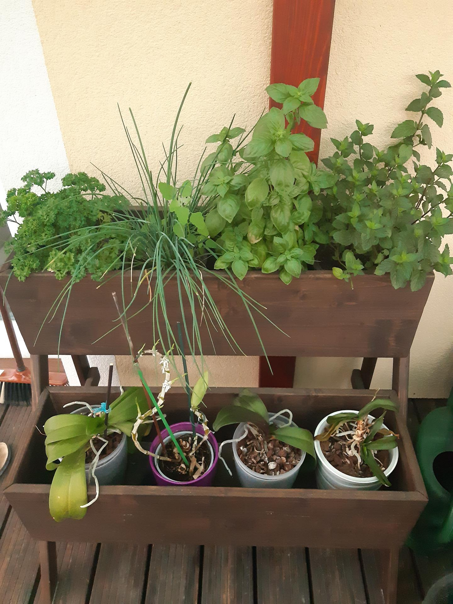 Zahrada 2021 - bylinky, víc jich ke štěstí naštěstí nepotřebuju. Orchideje jsou z přesunu na terasu totálně v šoku ;-)