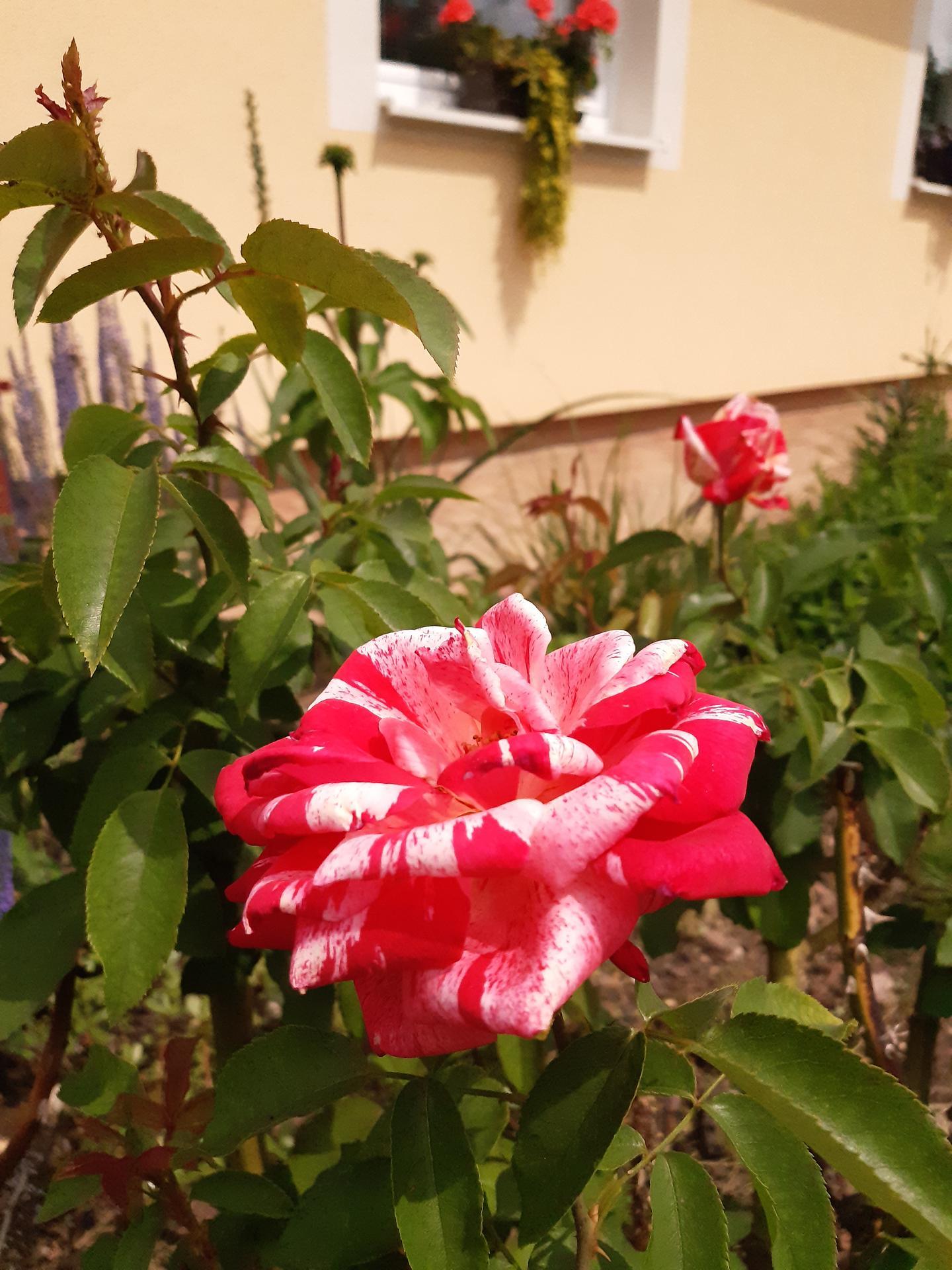 Zahrada 2021 - moje nejoblíběnější růže. Na jaře jsem jí přesadila a dlouho to vypadalo, že se jí to nelíbí