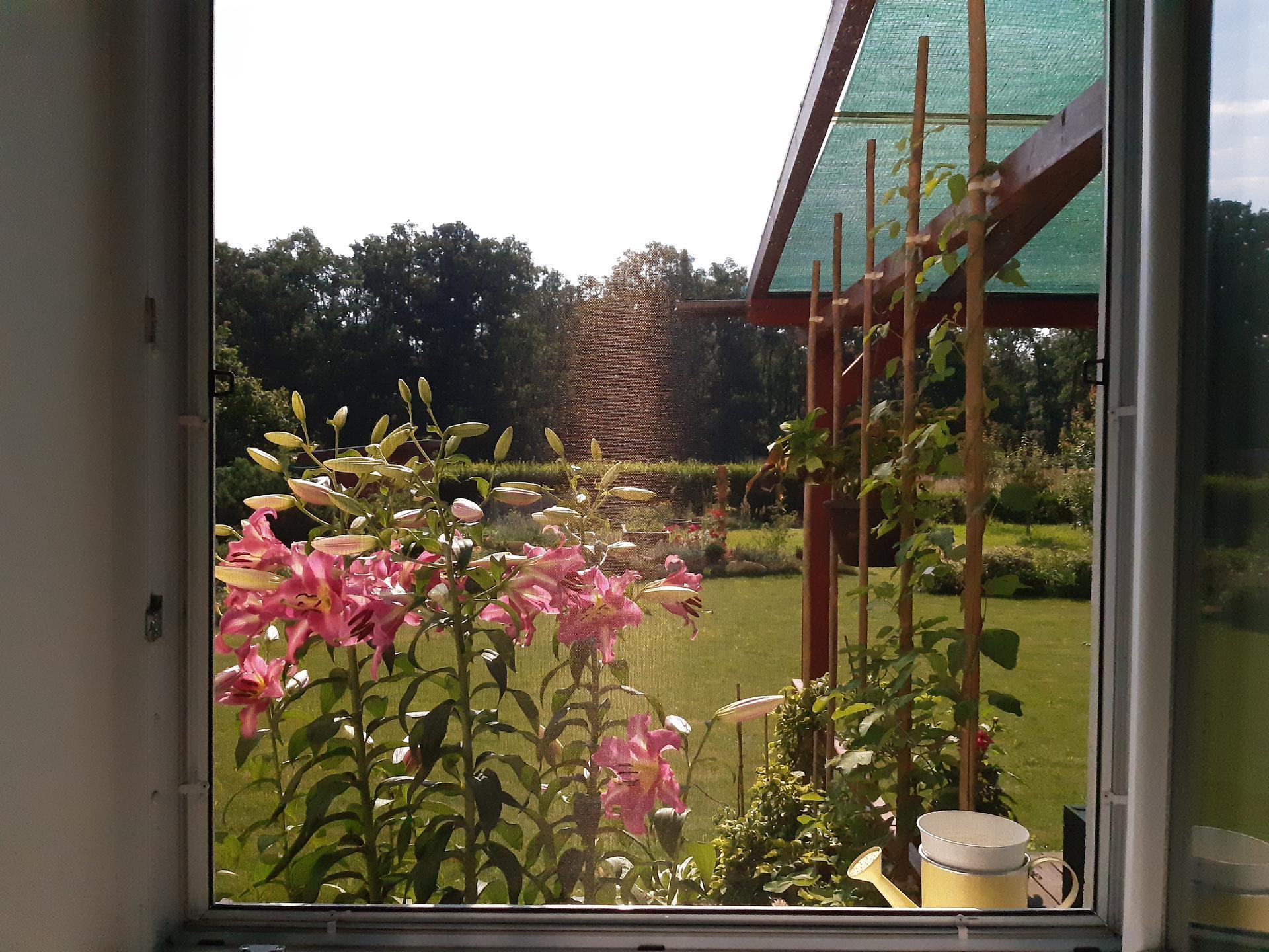 Zahrada 2021 - pohled z ložnice. Ráno mě ta vůně budí, nemám silný čmuch, ale tohle se nedá necítit ;-)