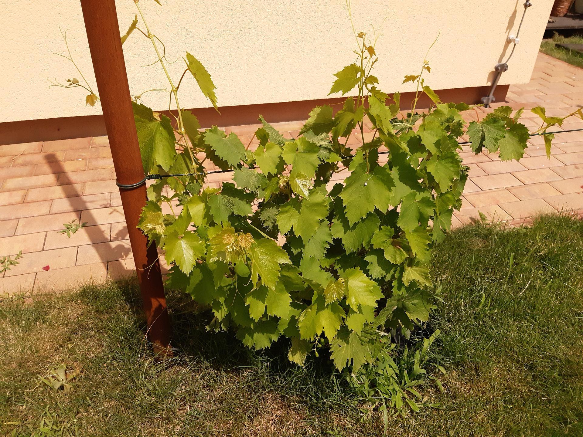 Zahrada 2021 - první rok vína