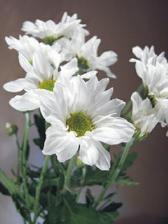 ...bílé chryzantémy okolo...