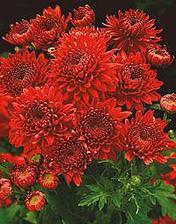 ...družičky budou mít červené chryzantémy...