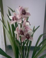 svatba bude v lila + smetanová, kytí orchidea a smetanové růže s břečťanem