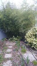 2016 Bambus teraz začiatkom marca. Vzadu nevidno susedov dom. :) Aukuba vpravo má cca moju výšku.