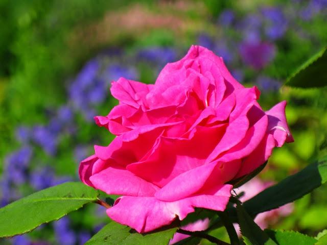 Zepherine Drouhin - BEZTRNOVA popinava ruza s malinovo ruzovou vonou. Kvitne v maji - juni a potom slabsie opakovane do mrazov. Rastie vdacne a ma vela kvetov. Jedine slabsie miesto -  ked je prilis dazdivo, niekedy moze potrebovat postrek proti hrzdi. - Obrázok č. 1