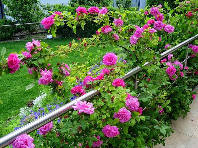 Zepherine Drouhin - BEZTRNOVA popinava ruza s malinovo ruzovou vonou. Kvitne v maji - juni a potom slabsie opakovane do mrazov. Rastie vdacne a ma vela kvetov. Jedine slabsie miesto -  ked je prilis dazdivo, niekedy moze potrebovat postrek proti hrzdi. - Obrázok č. 2
