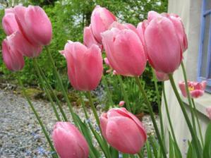 z tulipanov bude svadobna kytica, ale nie z ruzovych