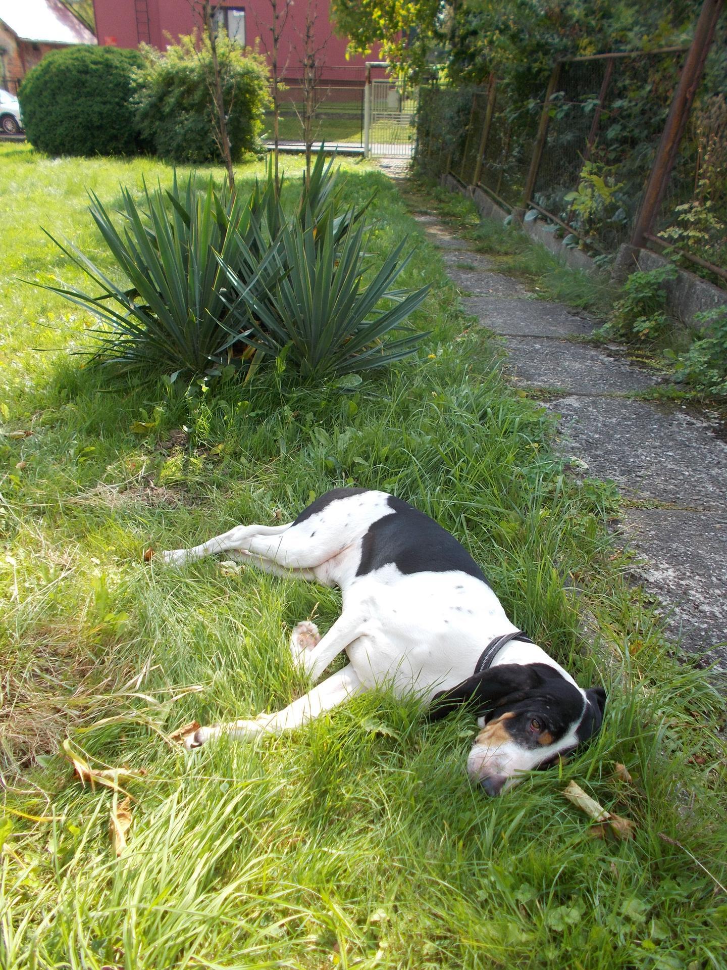 Letní trvalkový medonosný záhon - Psa budu muset naučit ležet někde jinde. :-D