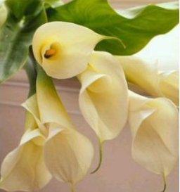 Na čo nezabudnúť... :o) - jednoznačne cally, krásne, jednoduché, elegantné
