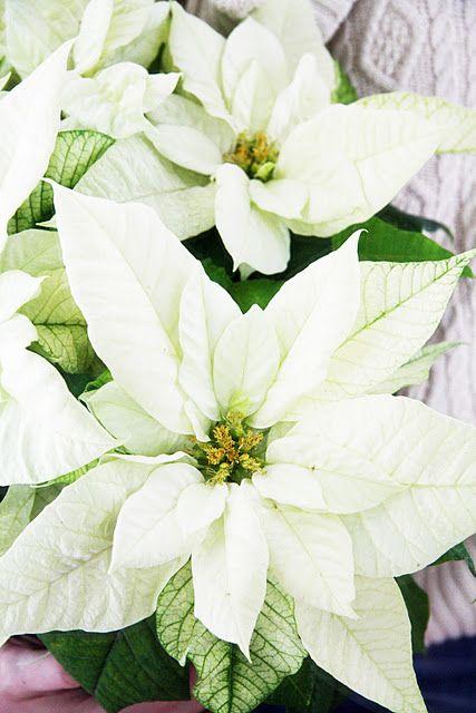 Dreaming of a white Christmas - Letošní květiny jsou jasné :)