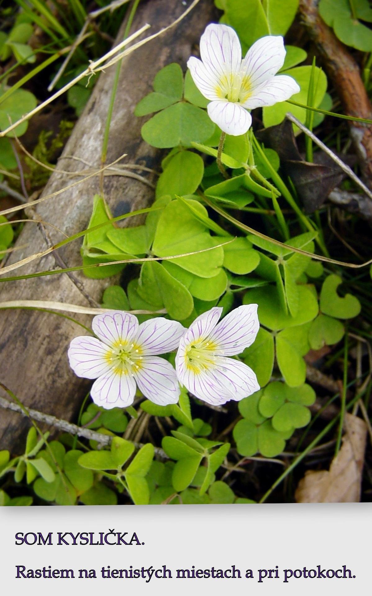 Vytvorila som pexeso z divorastúcich rastlín, touto cestou hľadám vydavateľa. Vopred ďakujem. Pexeso má náučný charakter a slúži ako pomôcka na určovanie a zapamätanie rastlín. - Obrázok č. 1