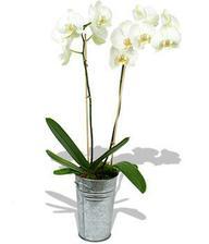 miluju orchideje, do obýváku bílé