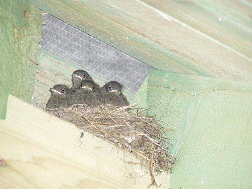 Naše bydlo - prozatímní nájemníci v krovu - snad vyletí do 25.7. - to přijedou montovat okna:-)