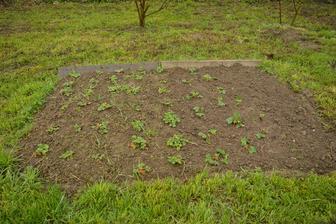 Můj záhon s jahodama ... zakládala jsem letos, tak tráva pořád hodně prorůstá a totálně blbě se to pleje :D .. ale snad se počasí umoudří a někdy to pročistím :D