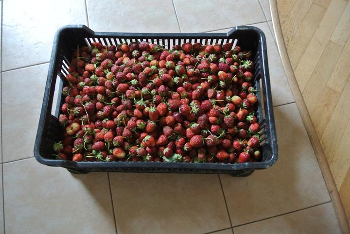 Dnešní rekord na samosběru jahod,  33 kg za necelé dvě hodiny, akorát nevím kdy to zavařím :-)