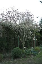 To letos byla moje krásná magnolie, už není, všecko spálil mráz :-(.