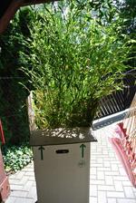 A moje krásné velké bambusy :-)