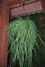 Krásný velký převislý  bambus