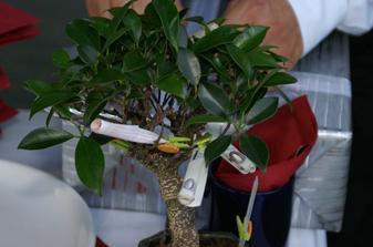 Od pratel jsme dostali bonsaj, na ktere rostou penize. Byla na ni take sazenka, na kterou jsme 26.06.06 vyhrali 66 Kc :-) Nasi kamaradi proste nemaji chybu!