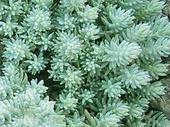 Predám skalničky Sedum blue spruce,