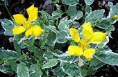 okrasný krík Kerria japonica,
