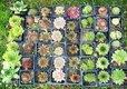 rôzne skalničky 20 druhov,