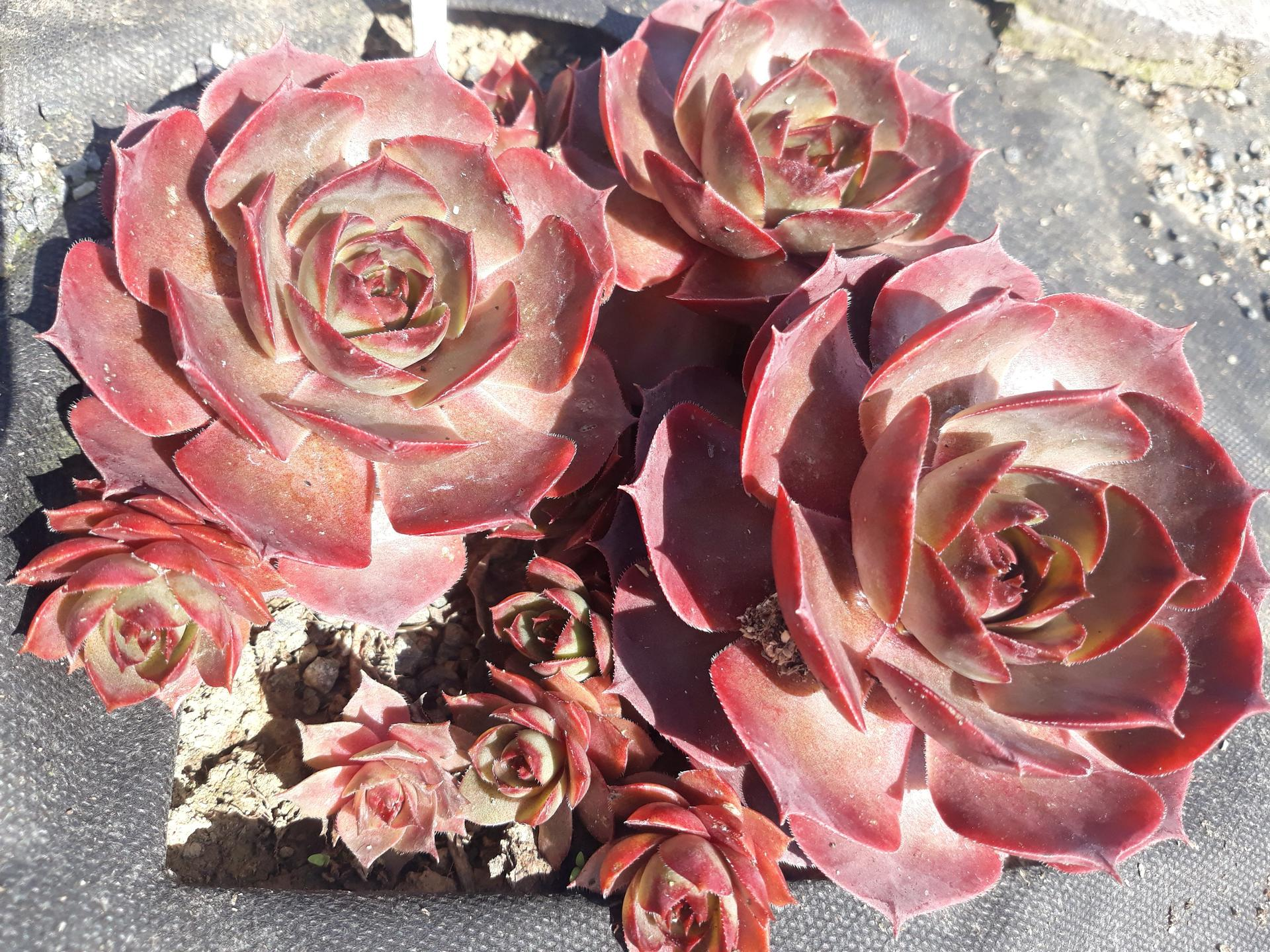 Skalné ruže 2021 - S.Alesia