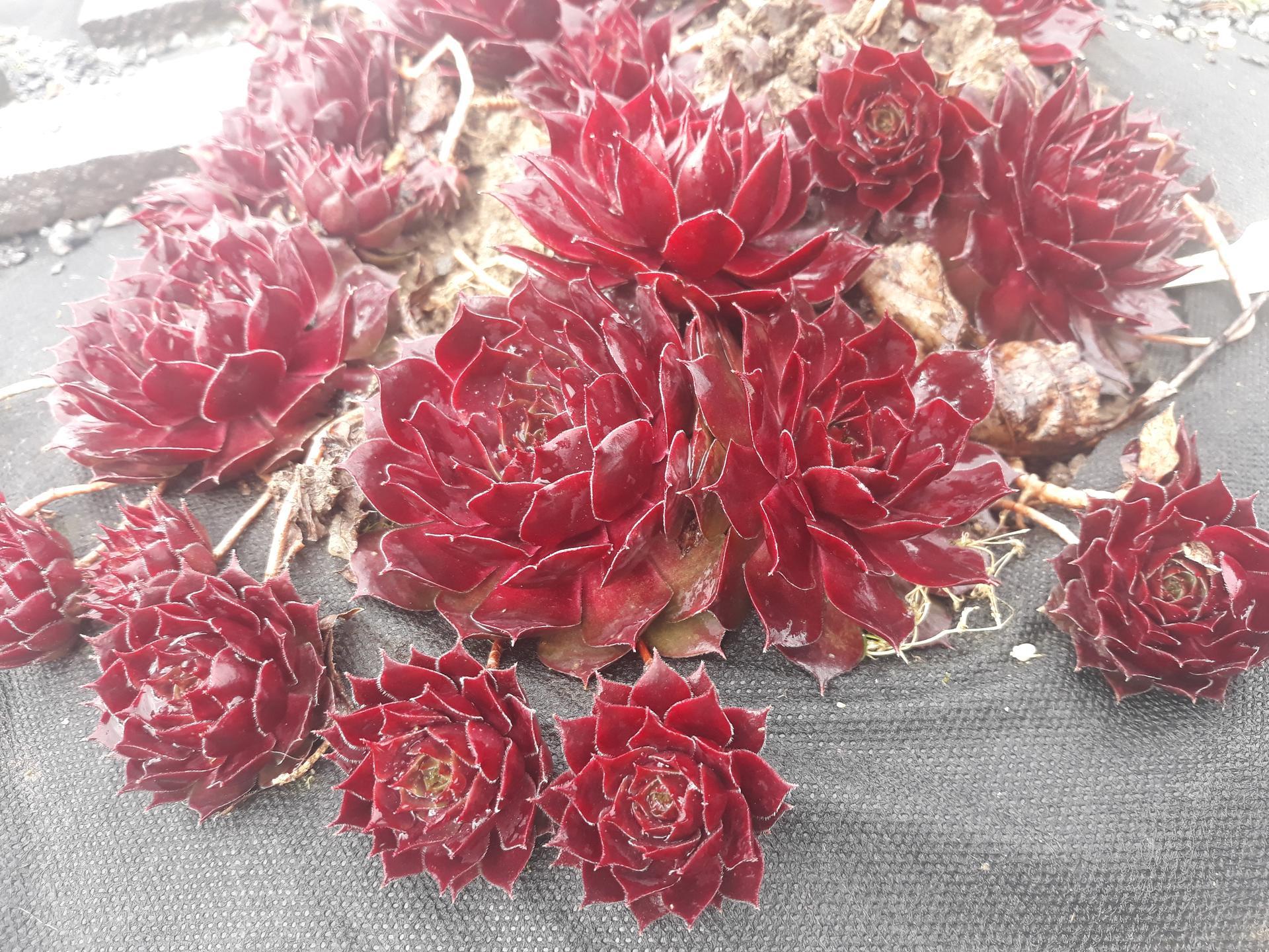Skalné ruže 2021 - S. Gallivarda