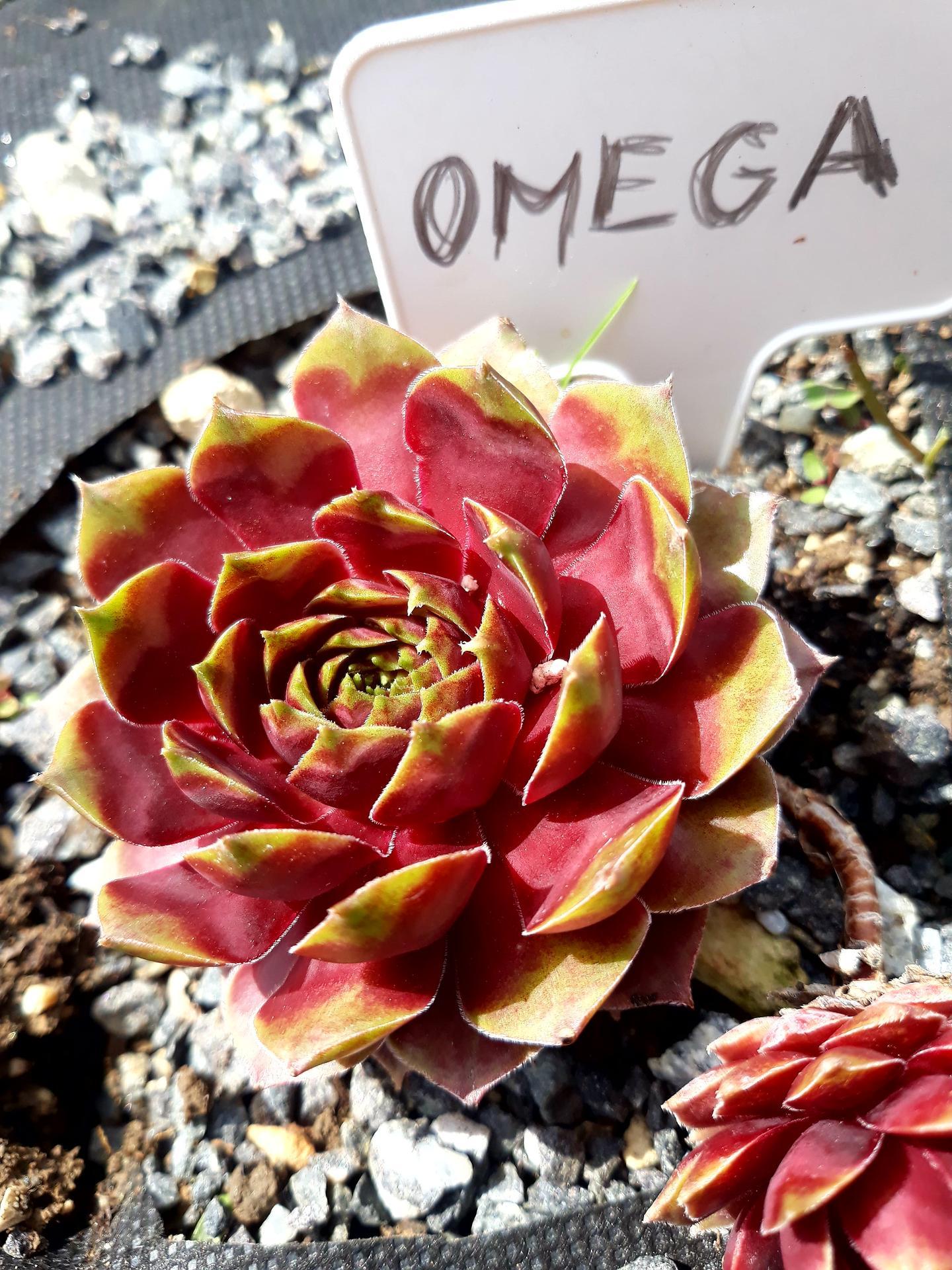 Skalné ruže 2021 - S. Omega