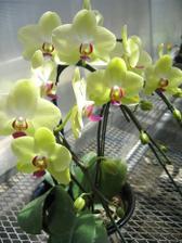 Uz rozmyslam aj nad orchideami...