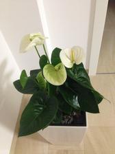 moje nová radost - květináč jsem měla skoro rok, než jsem potkala tuhle krasavici