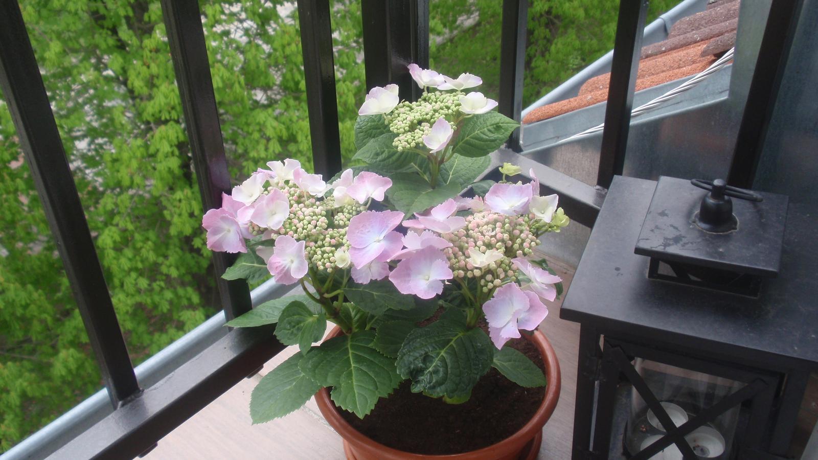Balkónové radosti 🌹 - neodolala som hortenzii, tak dúfam, že sa jej bude dariť...