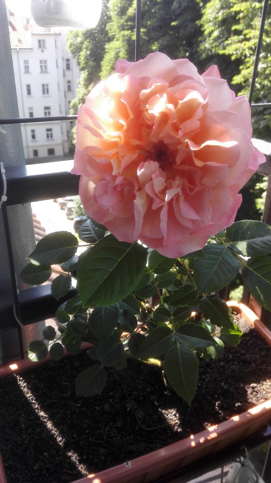 Balkónové radosti 🌹 - V kvetinaci na balkone 😱