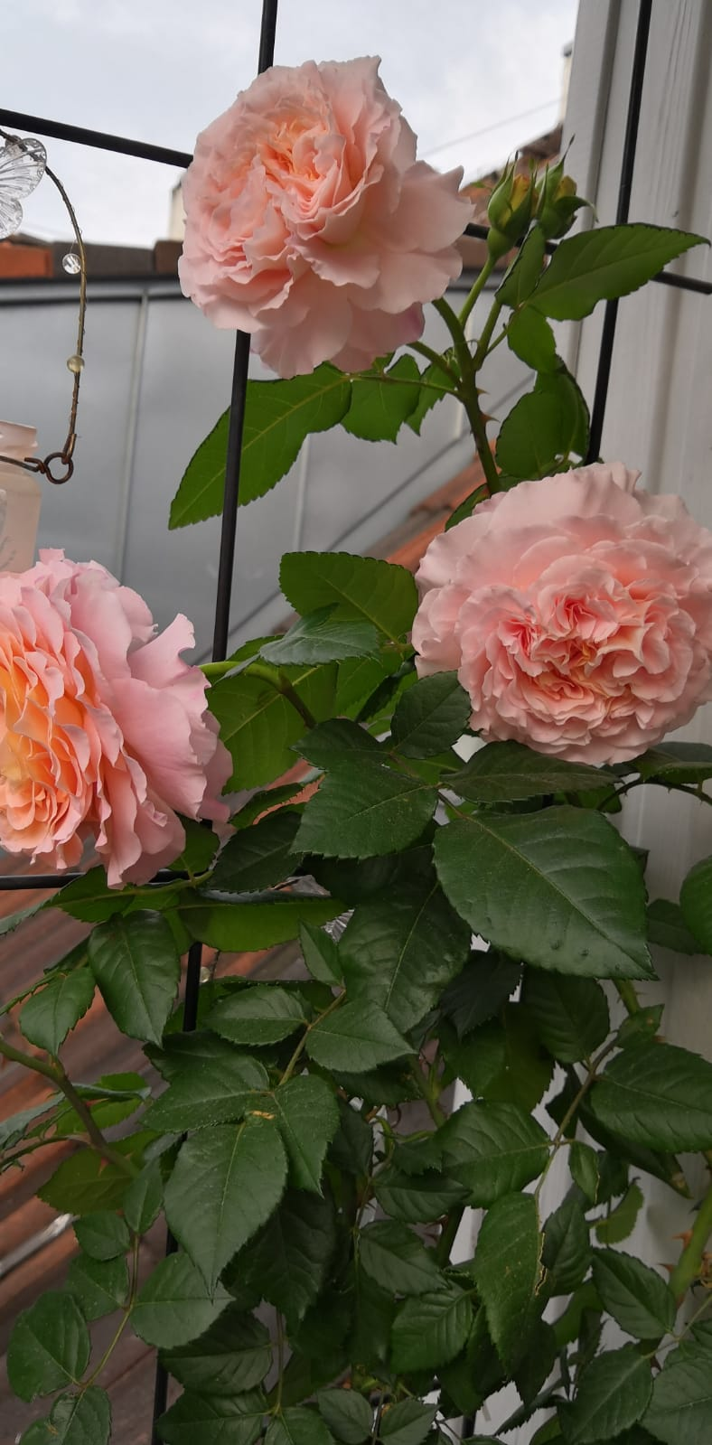 Balkónové radosti 🌹 - Úspešne prezimovana v pivnici a už krásne kvitnúca, mam z nej veľkú radosť 🤗