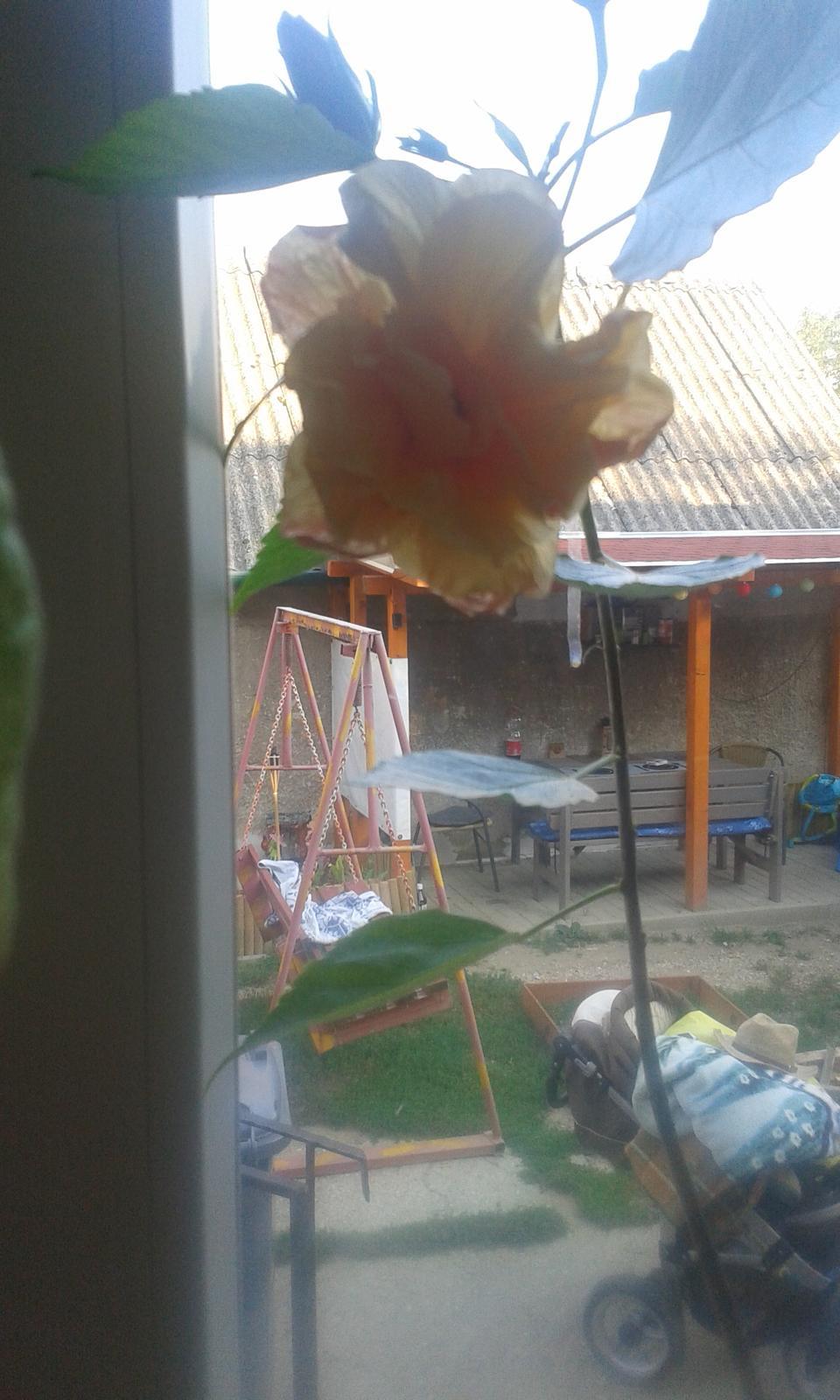 Činskà ruža oranžová - Obrázok č. 1