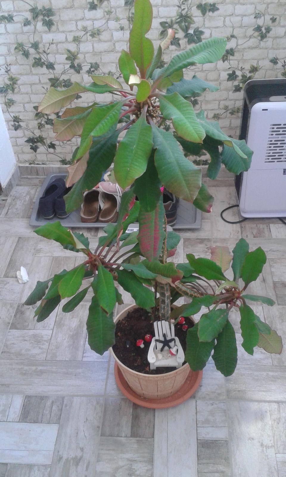 Euphorbia leuconeura - Obrázok č. 1