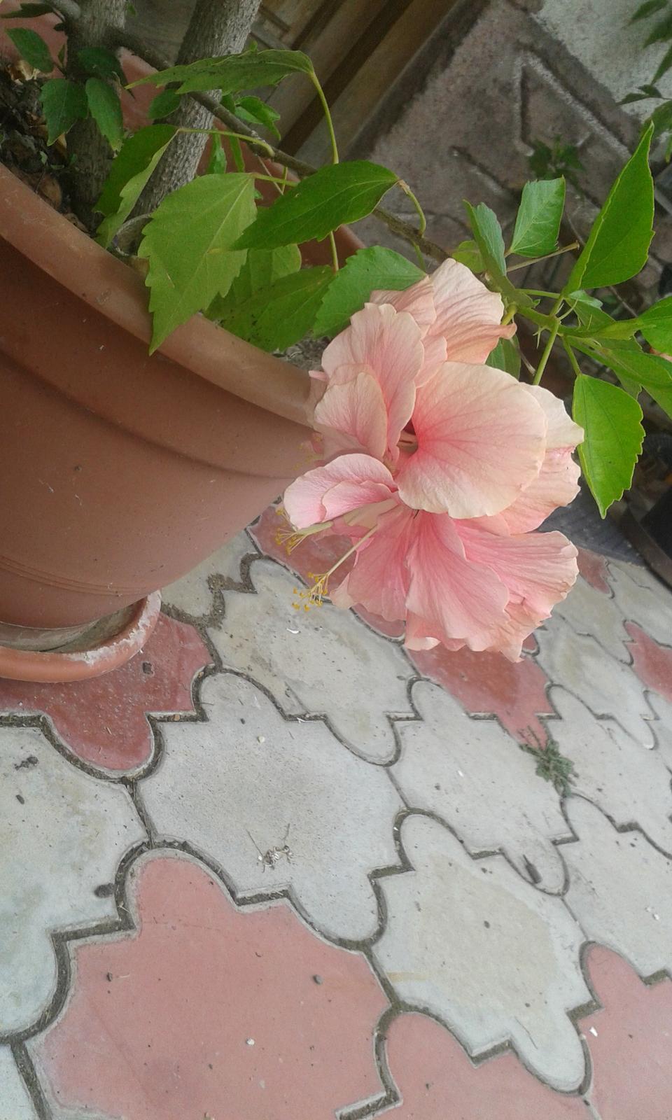 Čínska ruža ružová - Obrázok č. 1